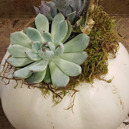 Succulents and moss set inside a pumpkin container